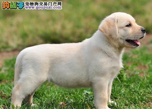 顶级品质哈尔滨拉布拉多犬低价直销 可办理血统证书