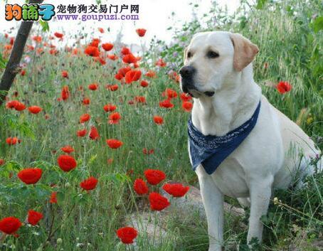 犬舍直销品种纯正健康拉布拉多专业繁殖中心值得信赖