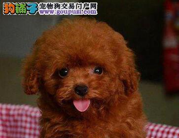 纯种韩系泰迪 银川犬舍本月畅销犬种 千万不要错过哦1