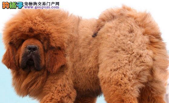 狮子头多种血系的西宁藏獒幼崽热卖中 可随时上门看狗