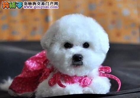 韩国引进大眼睛甜美脸型比熊幼犬出售血统纯正品相超好
