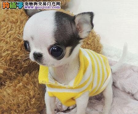 荆州售高品质苹果头吉娃娃幼犬不一样的吉娃娃犬长不大