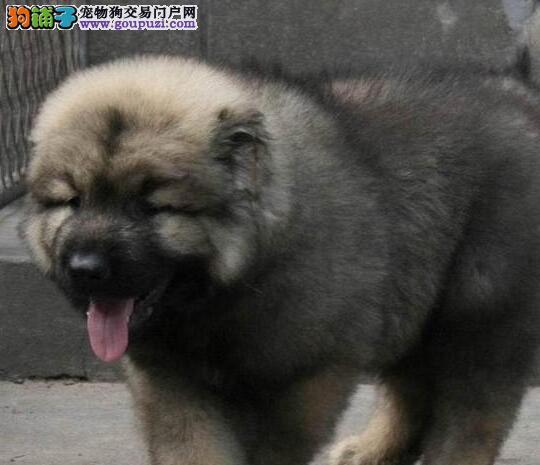 杭州高加索高大威猛顶级护卫犬高加索犬纯种俄血统