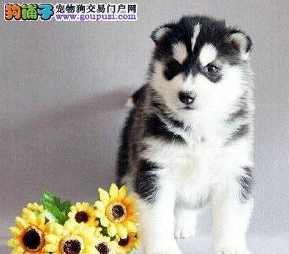 潍坊大型犬舍出售哈士奇幼犬 赛级品质双血统 签协议