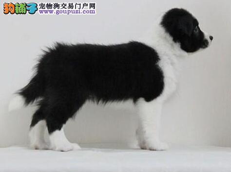 最大犬舍出售多种颜色边境牧羊犬国际血统认证