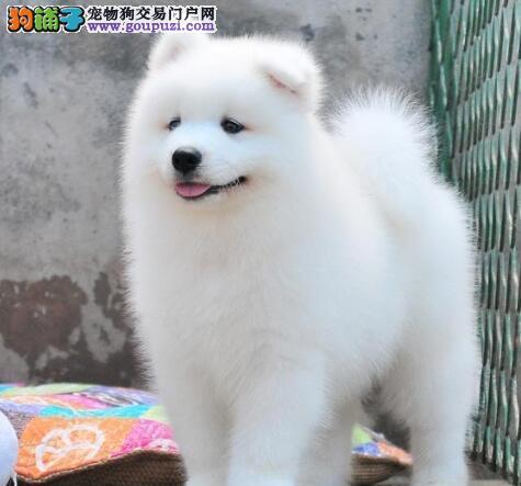 赛级萨摩耶 萨摩微笑天使幼犬广东出售公母全有