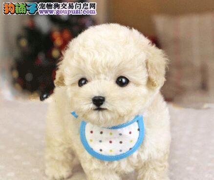 促销小巧可爱青岛泰迪犬 保健康赠狗户口