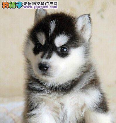 高品质哈士奇西伯利亚雪橇犬 小哈二哈合肥市出售中