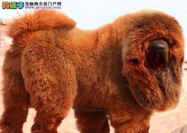 广州知名獒园特价优惠售多只藏獒幼崽 保障完美的售后