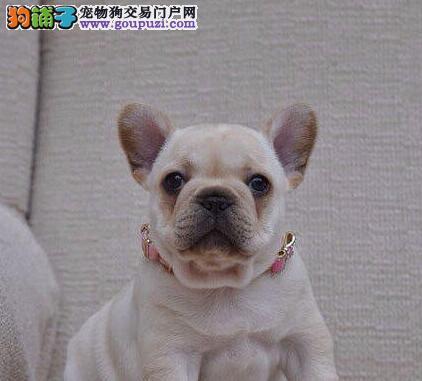 北京引进精品法国斗牛犬 奶油虎班黑白花法牛犬出售