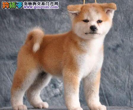 出售健康日系北京秋田犬 三个月有问题可退可换