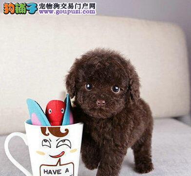 泰迪犬到底可不可以喝牛奶啊