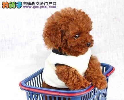 极品泰迪犬出售,全程实拍直接视频,签署合同质保