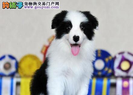 高智商易训练的边境牧羊犬找新家 南昌市内免费送货4