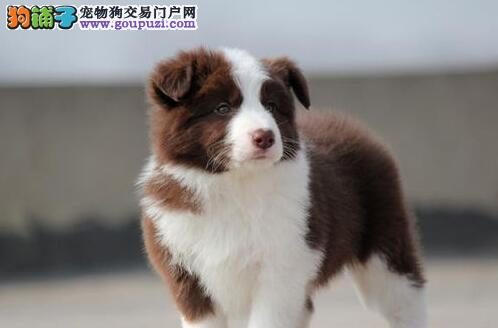 高智商易训练的边境牧羊犬找新家 南昌市内免费送货2
