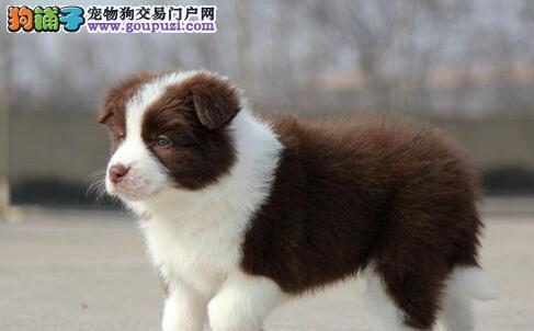 高智商易训练的边境牧羊犬找新家 南昌市内免费送货3