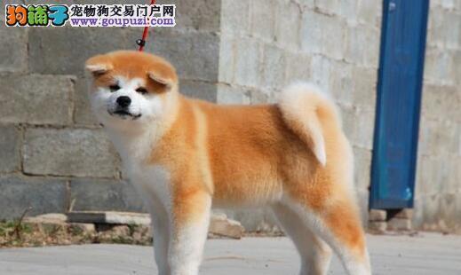 最大犬舍出售多种颜色秋田犬可直接微信视频挑选