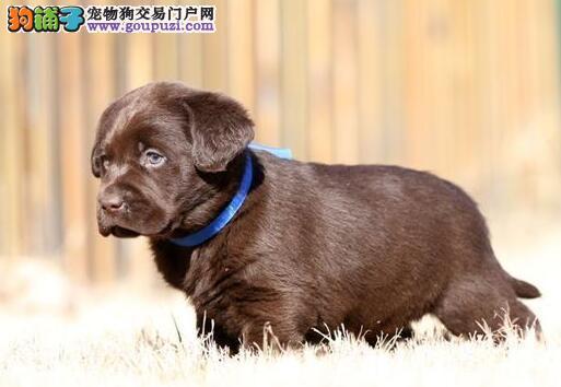 超高品质家庭式繁殖纯种拉布拉多幼犬图片