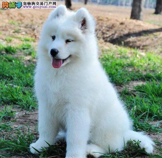微笑天使般的萨摩耶幼犬找新主人 石家庄市内免费送货