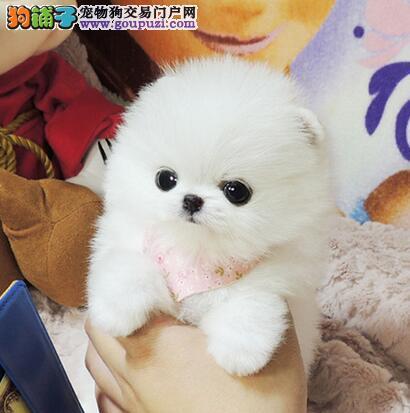 北京售纯种精品博美狐狸犬 松鼠犬 可爱俊介健康保证