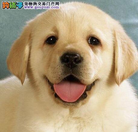 玉树州售纯种健康冠军级拉登血系拉布拉多幼犬签订协议