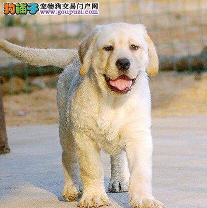 精品纯种血系厦门拉布拉多犬直销 品相好身体健康