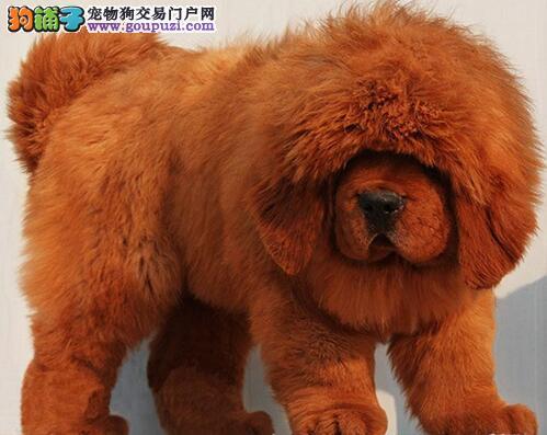 藏獒幼犬热销中 打完疫苗证书齐全 当天付款包邮