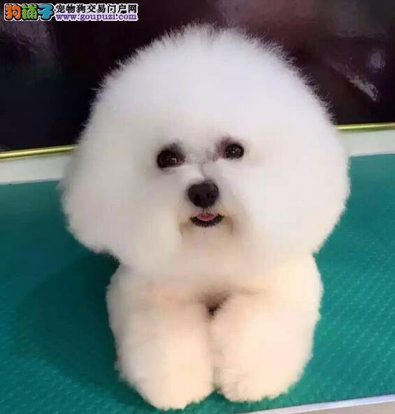 北京基地直销比熊犬幼犬 健康保障 品相好可上门看