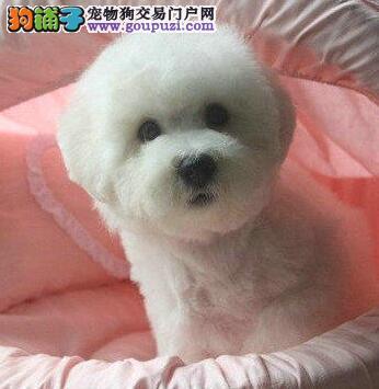 广州正规狗场 纯种比熊犬幼犬 微信看狗 可送货