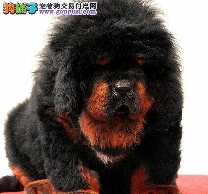 大狮头纯种—藏獒特价销售 1500