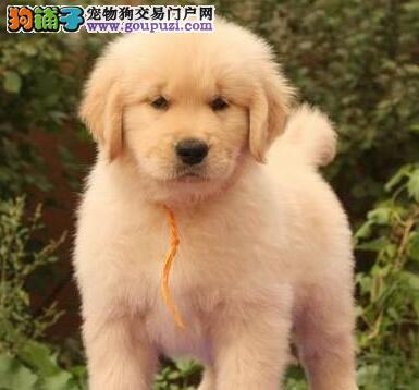 养殖场转让极品金毛犬上海市内山门购犬有礼品