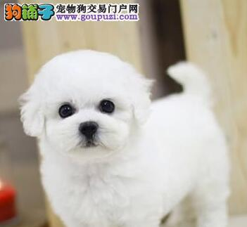 活泼聪明的杭州比熊宝宝低价出售 不爱掉毛非常可爱2