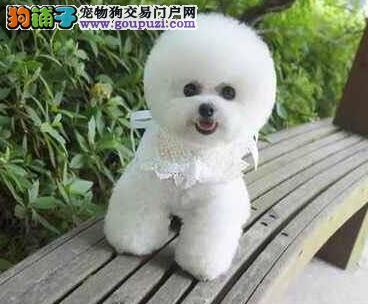 活泼聪明的杭州比熊宝宝低价出售 不爱掉毛非常可爱4