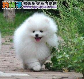 温州大型养殖场低价出售哈多利球形博美犬 狗贩子勿扰