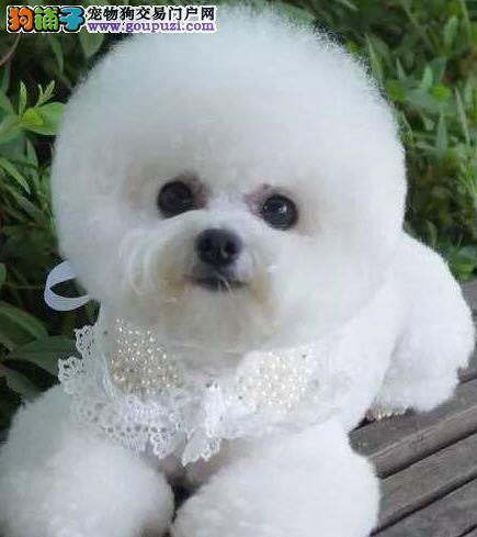 活泼聪明的杭州比熊宝宝低价出售 不爱掉毛非常可爱3