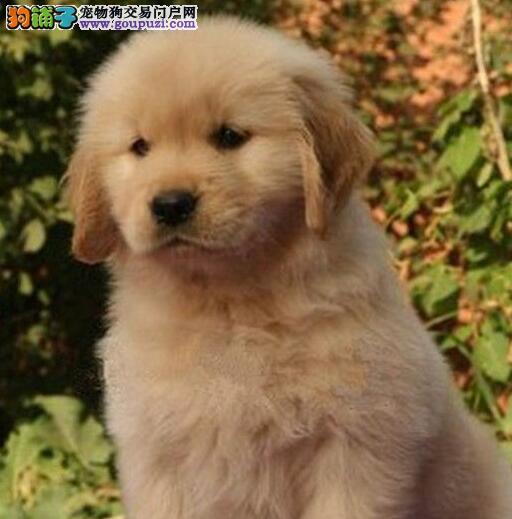 湖州犬舍繁殖纯种金毛犬美系英系金毛证书齐保纯种健康