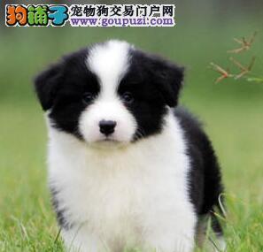 出售纯种边境牧羊犬幼犬品质保证公母全有可上门挑选