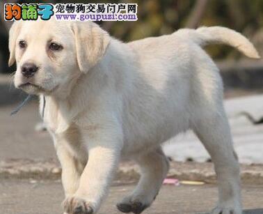 广州犬舍直销听话的拉布拉多宝宝 品质绝对保证保