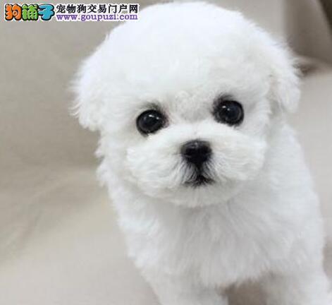 上海自家繁殖纯种高品质无泪痕大毛量熊版比熊犬健康