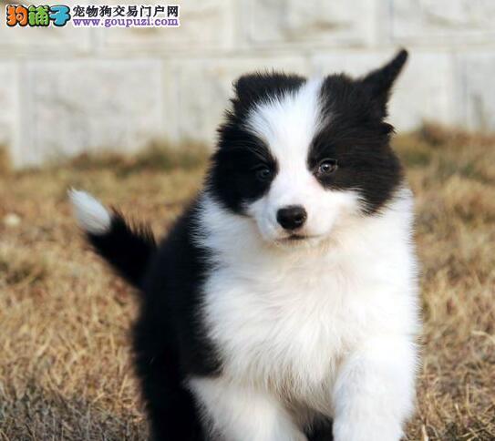 CKU认证犬舍出售精品边境牧羊犬、包纯种健康可上门