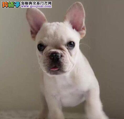 出售北京法国斗牛犬专业缔造完美品质喜欢加微信可签署协议