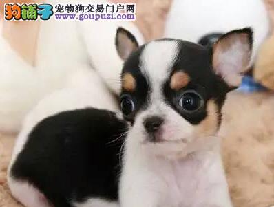 武汉家庭繁殖苹果头吉娃娃 墨西哥茶杯犬吉娃娃
