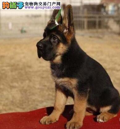 顶级锤系短嘴黑神瓦尔特品相的广州德国牧羊犬出售中