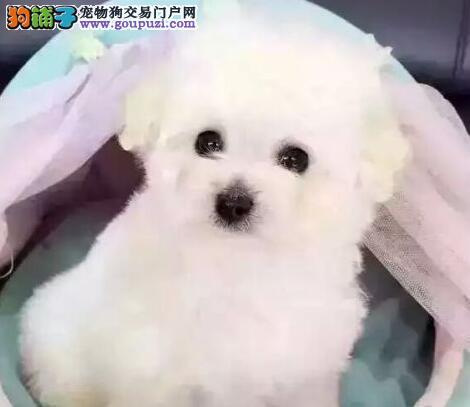 深圳犬舍今日特价一比熊幼犬一送用品一包养活签协议