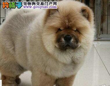 北京顺义售松狮犬保纯保健康可签协议