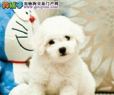 出售纯种玩具比熊幼犬活泼可爱聪明伶俐3个多月