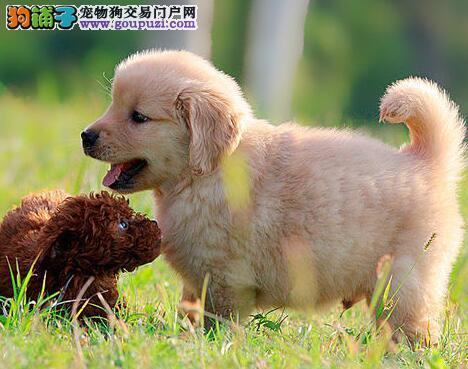 双血系金毛幼犬三月质保签合同赛级CKU精品金毛出售中
