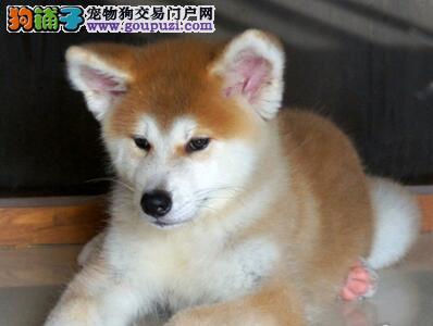 大型狗场直销价格转让日系秋田犬 兰州地区有实体店