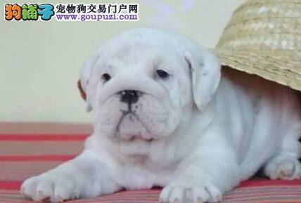 八折出售广州斗牛犬 驱虫疫苗做完 请您放心选购2