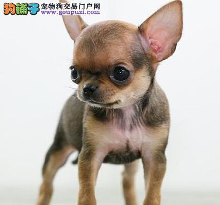 重庆出售大眼睛袖珍犬 纯种吉娃娃 长不大的萌犬